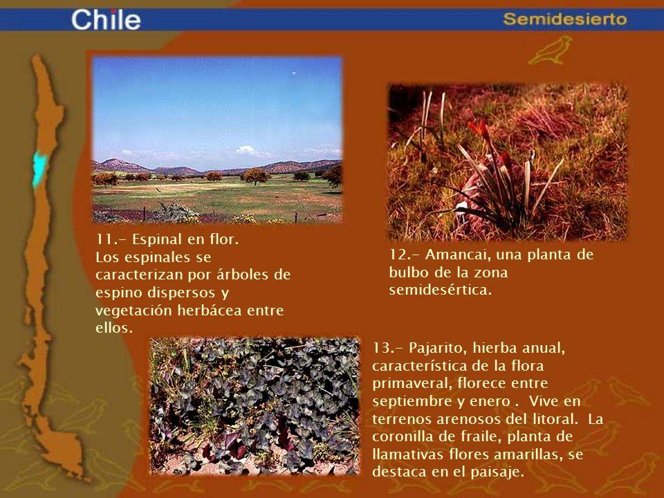 11.- Espinal en flor. Los espinales se caracterizan por árboles de espino dispersos y vegetación herbácea entre ellos.