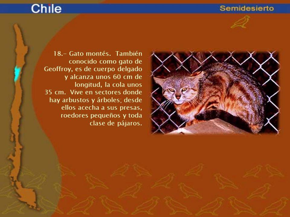 18.- Gato montés. También conocido como gato de Geoffroy, es de cuerpo delgado y alcanza unos 60 cm de longitud, la cola unos