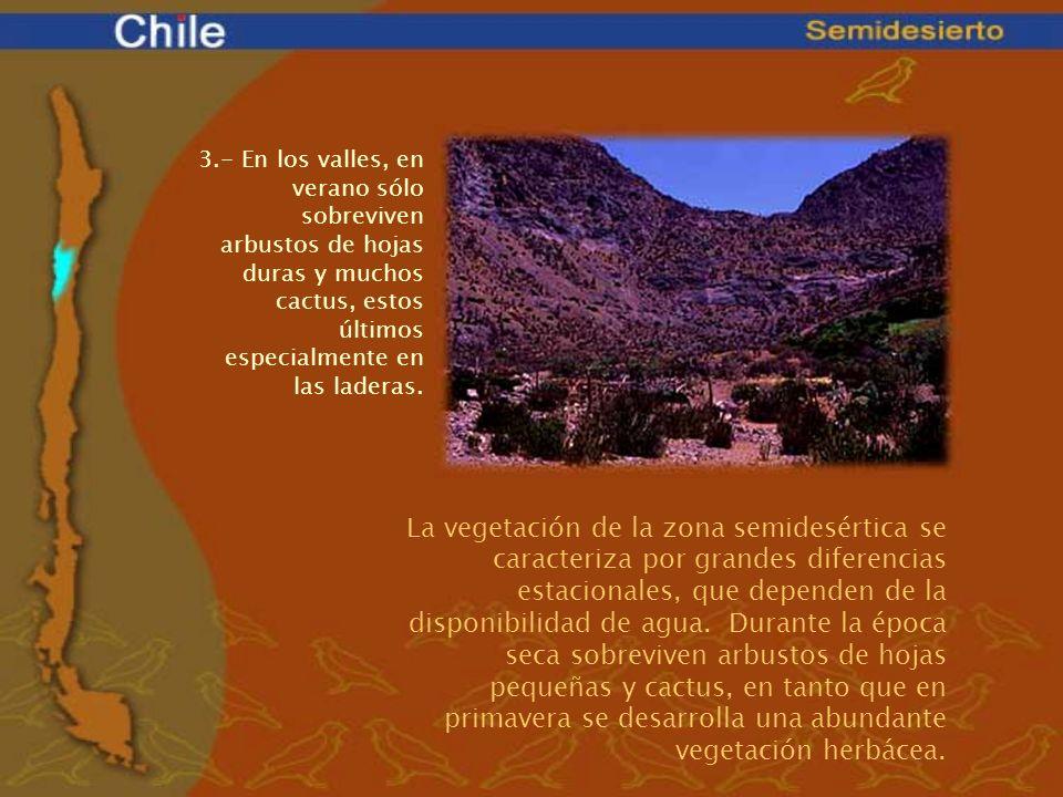 3.- En los valles, en verano sólo sobreviven arbustos de hojas duras y muchos cactus, estos últimos especialmente en las laderas.