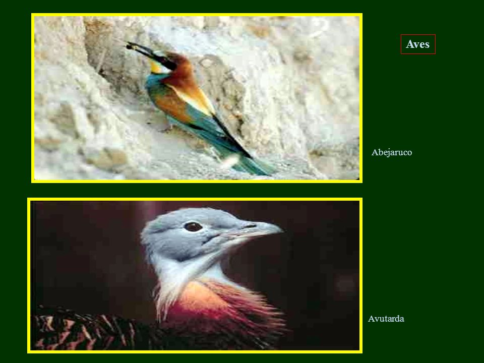 Aves Abejaruco Avutarda