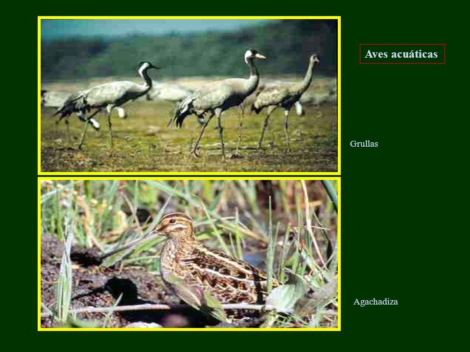 Aves acuáticas Grullas Agachadiza