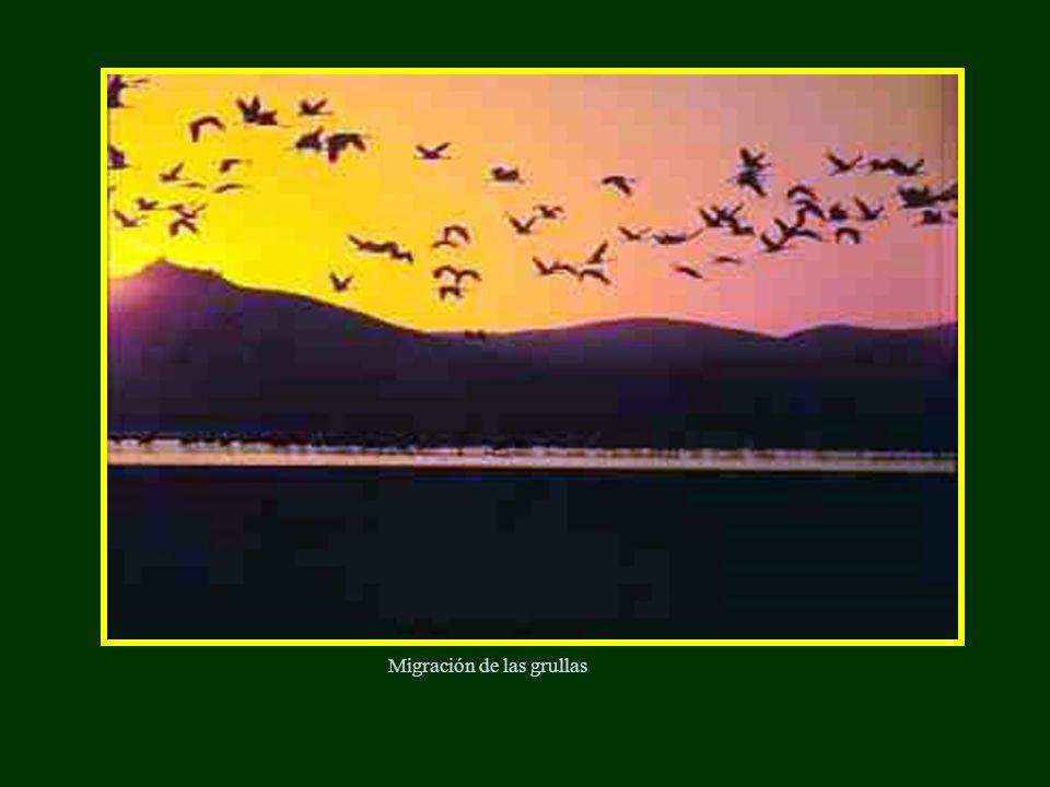 Migración de las grullas