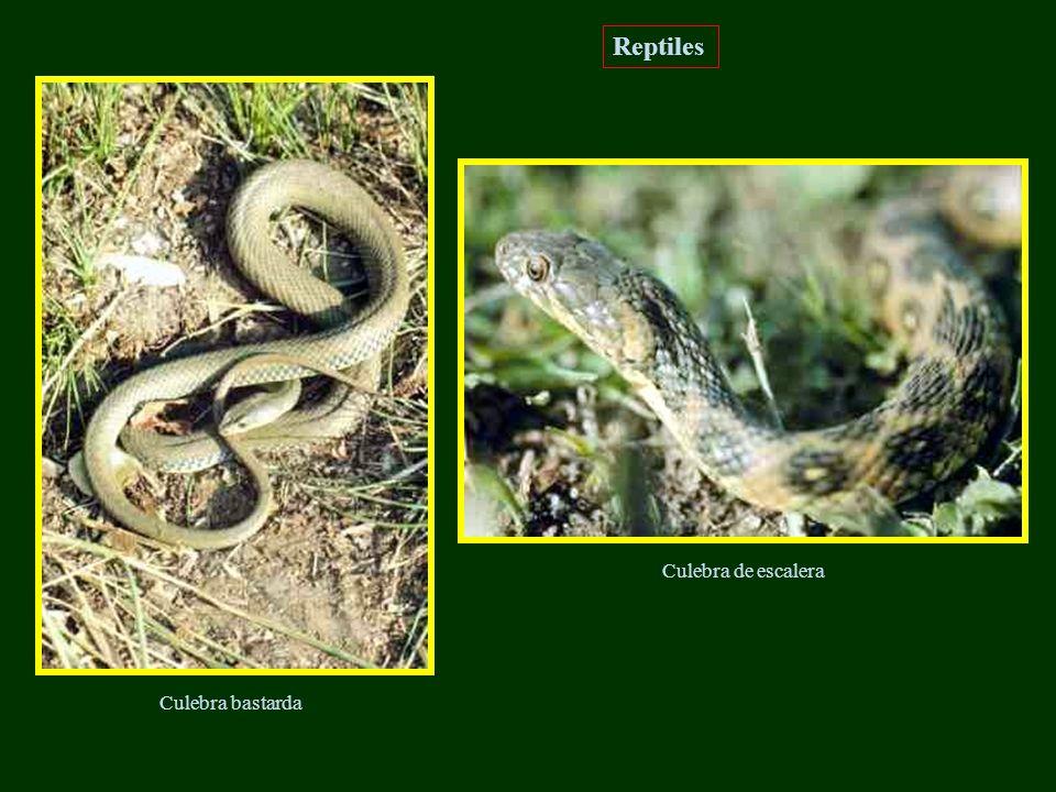 Reptiles Culebra de escalera Culebra bastarda