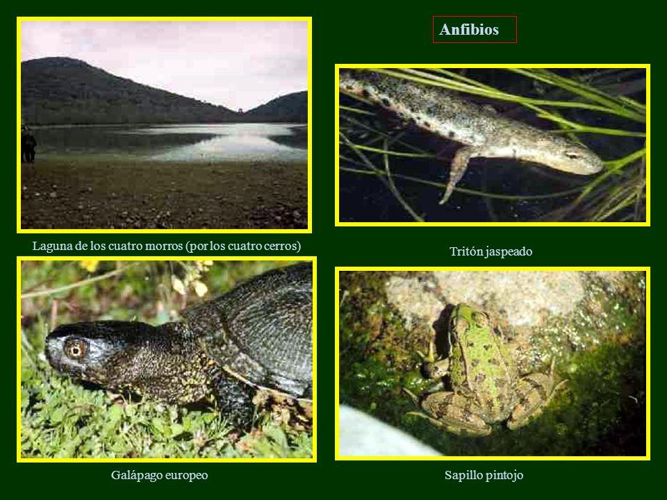 Anfibios Laguna de los cuatro morros (por los cuatro cerros)