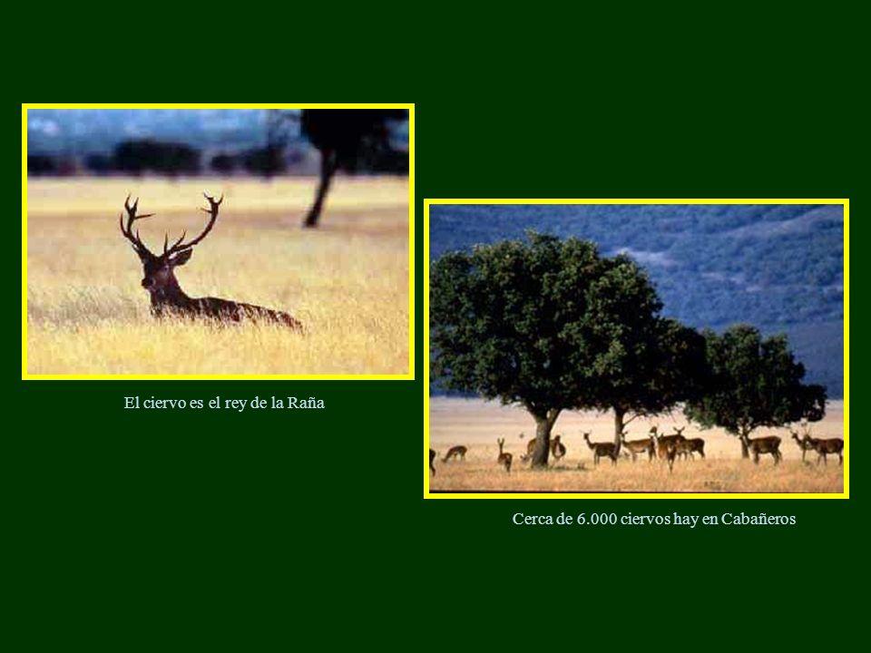 El ciervo es el rey de la Raña