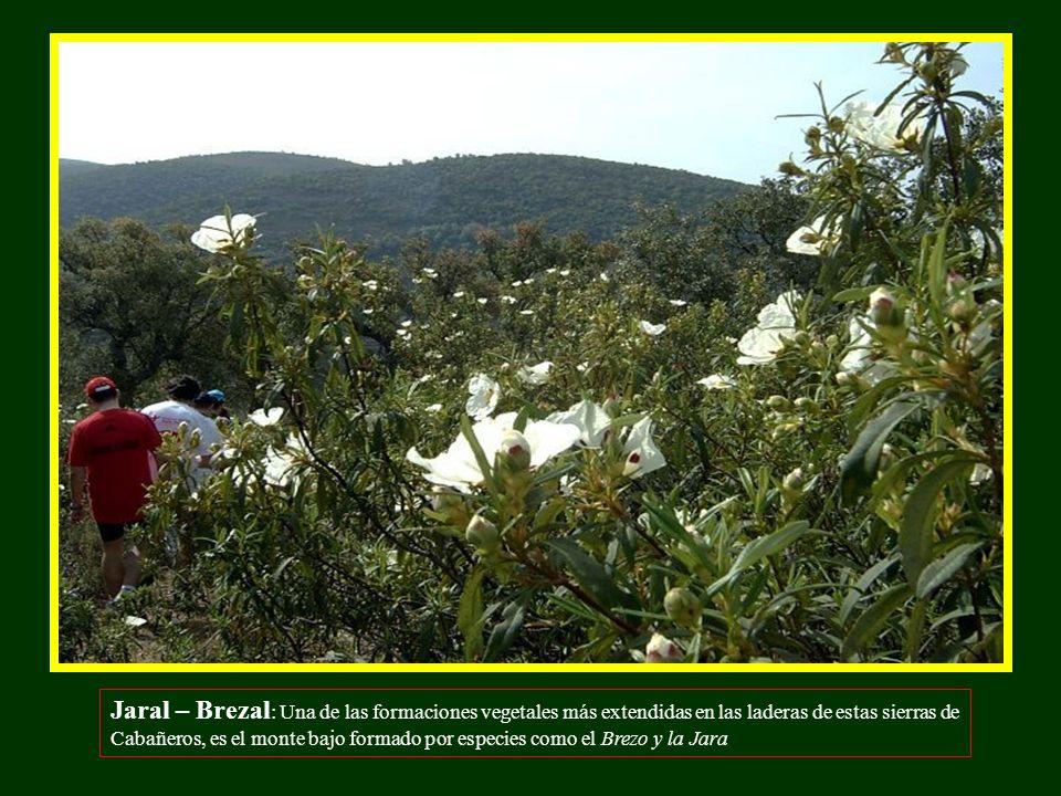 Jaral – Brezal: Una de las formaciones vegetales más extendidas en las laderas de estas sierras de Cabañeros, es el monte bajo formado por especies como el Brezo y la Jara