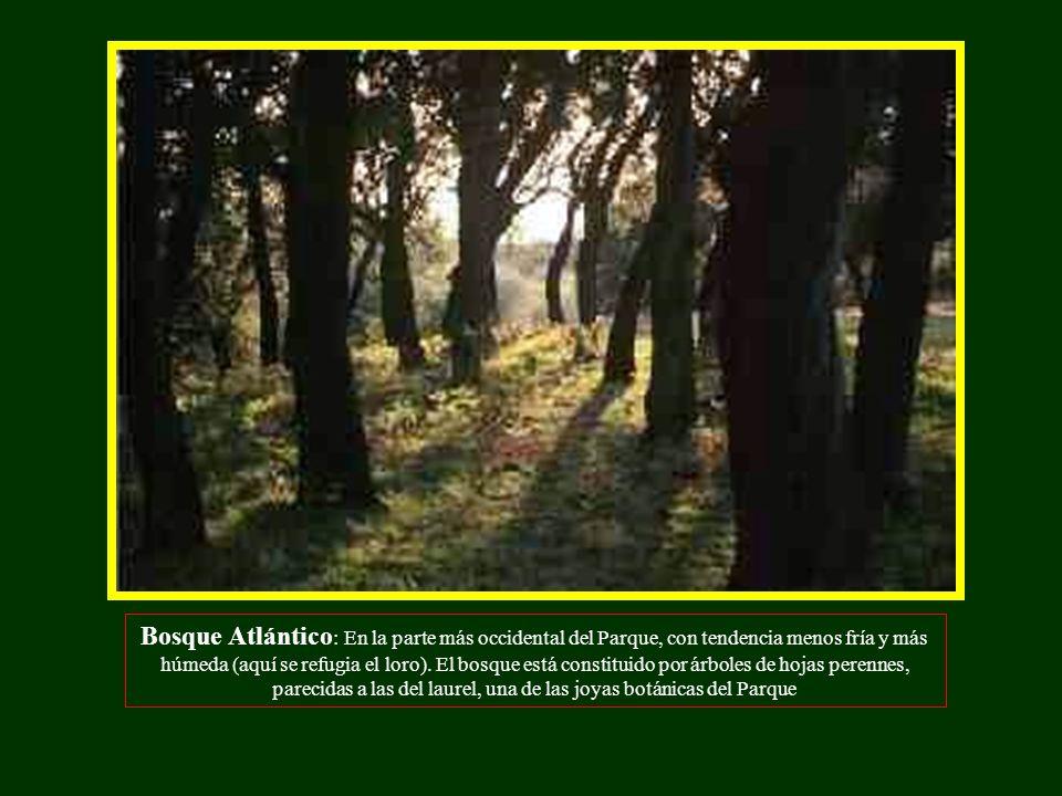 Bosque Atlántico: En la parte más occidental del Parque, con tendencia menos fría y más húmeda (aquí se refugia el loro).