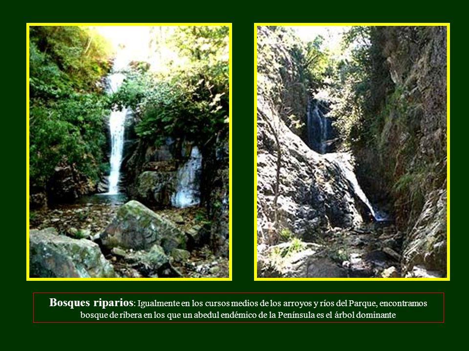 Bosques riparios: Igualmente en los cursos medios de los arroyos y ríos del Parque, encontramos bosque de ribera en los que un abedul endémico de la Península es el árbol dominante