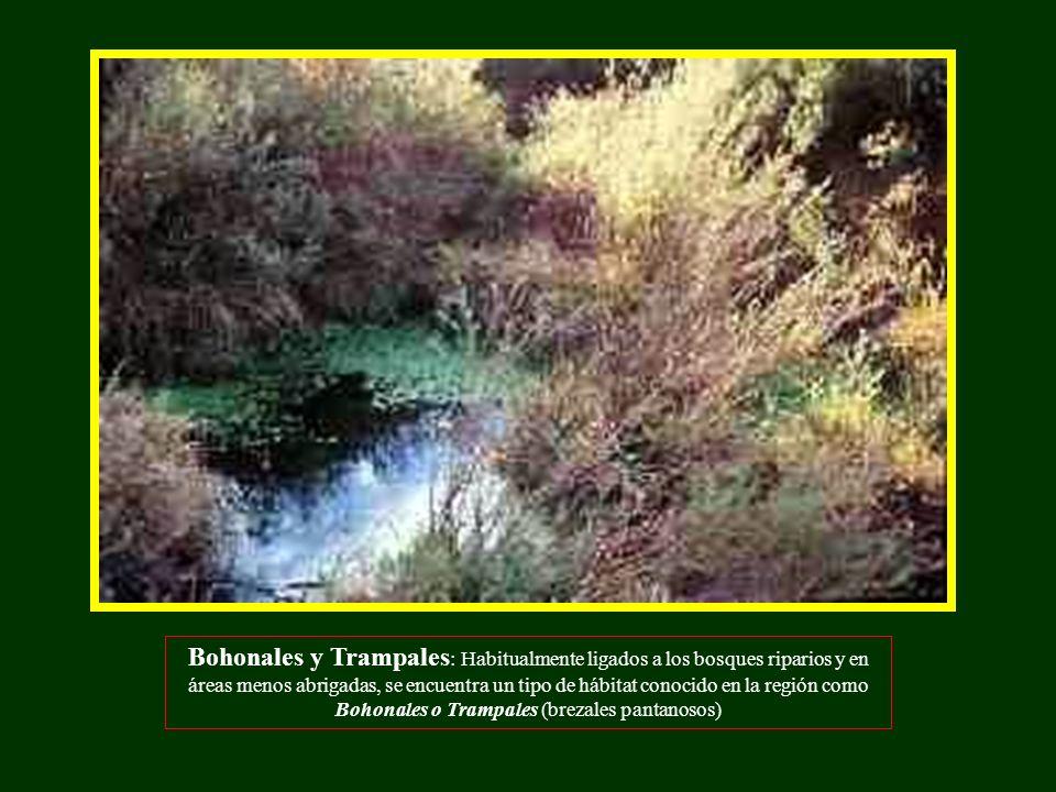 Bohonales y Trampales: Habitualmente ligados a los bosques riparios y en áreas menos abrigadas, se encuentra un tipo de hábitat conocido en la región como Bohonales o Trampales (brezales pantanosos)