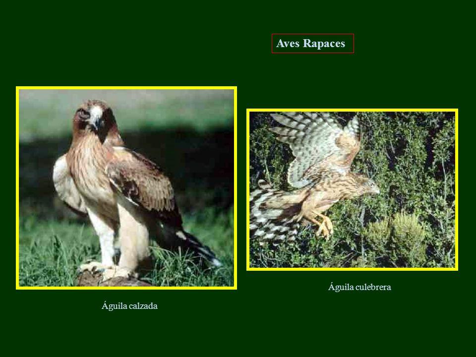 Aves Rapaces Águila culebrera Águila calzada