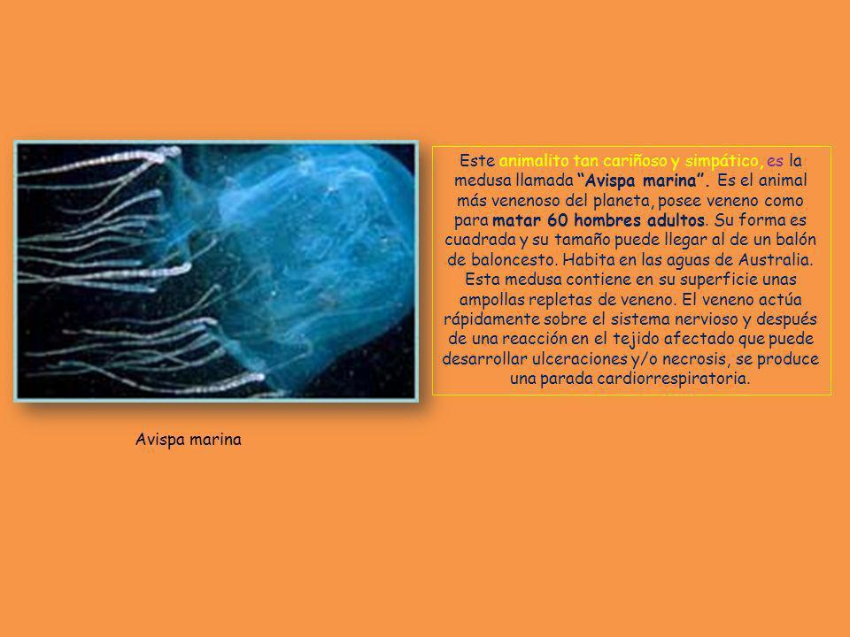 Este animalito tan cariñoso y simpático, es la medusa llamada Avispa marina . Es el animal más venenoso del planeta, posee veneno como para matar 60 hombres adultos. Su forma es cuadrada y su tamaño puede llegar al de un balón de baloncesto. Habita en las aguas de Australia. Esta medusa contiene en su superficie unas ampollas repletas de veneno. El veneno actúa rápidamente sobre el sistema nervioso y después de una reacción en el tejido afectado que puede desarrollar ulceraciones y/o necrosis, se produce una parada cardiorrespiratoria.