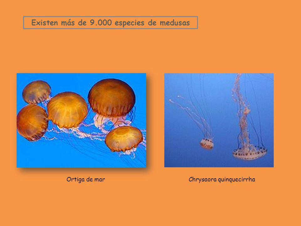 Existen más de 9.000 especies de medusas
