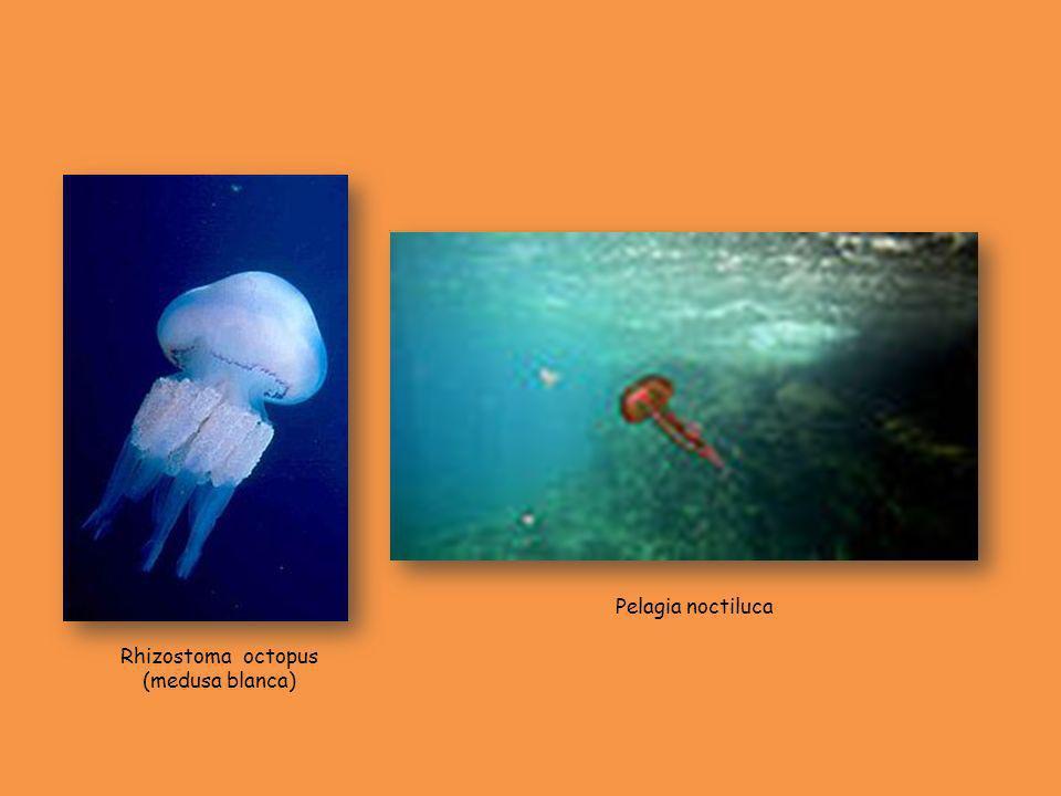 Rhizostoma octopus (medusa blanca)