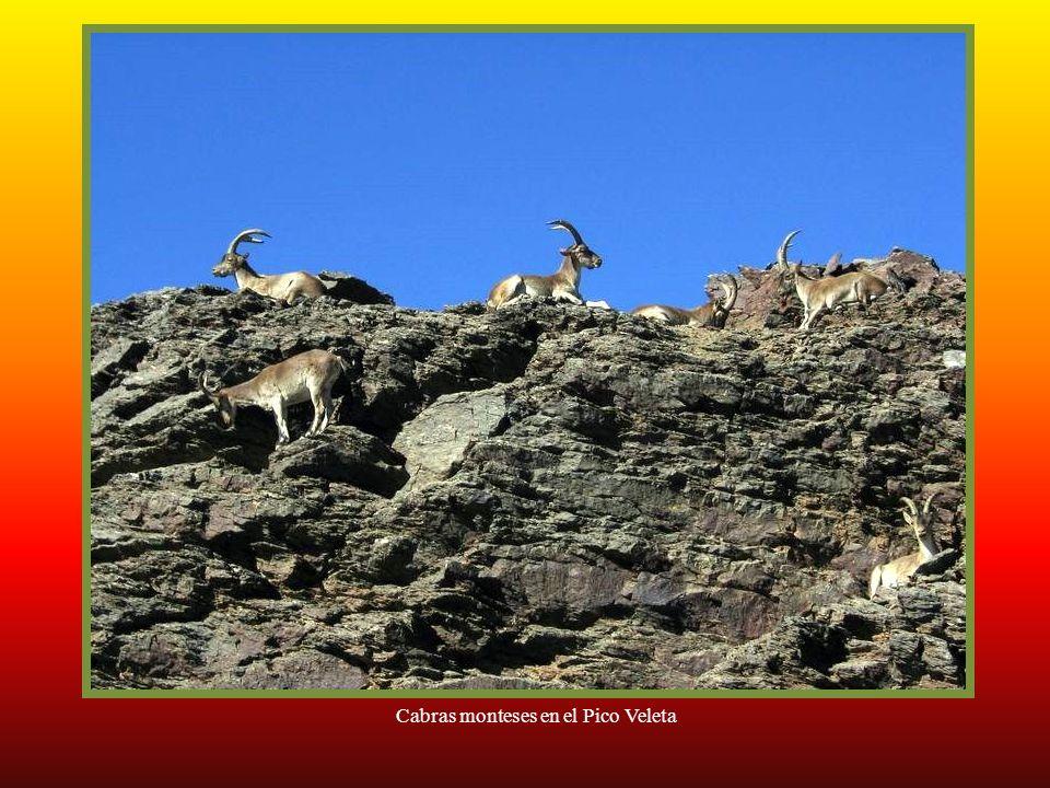 Cabras monteses en el Pico Veleta