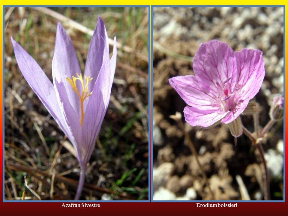 Azafrán Sivestre Erodium boissieri