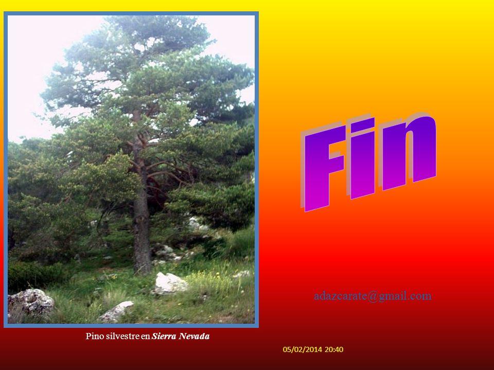 Fin adazcarate@gmail.com Pino silvestre en Sierra Nevada