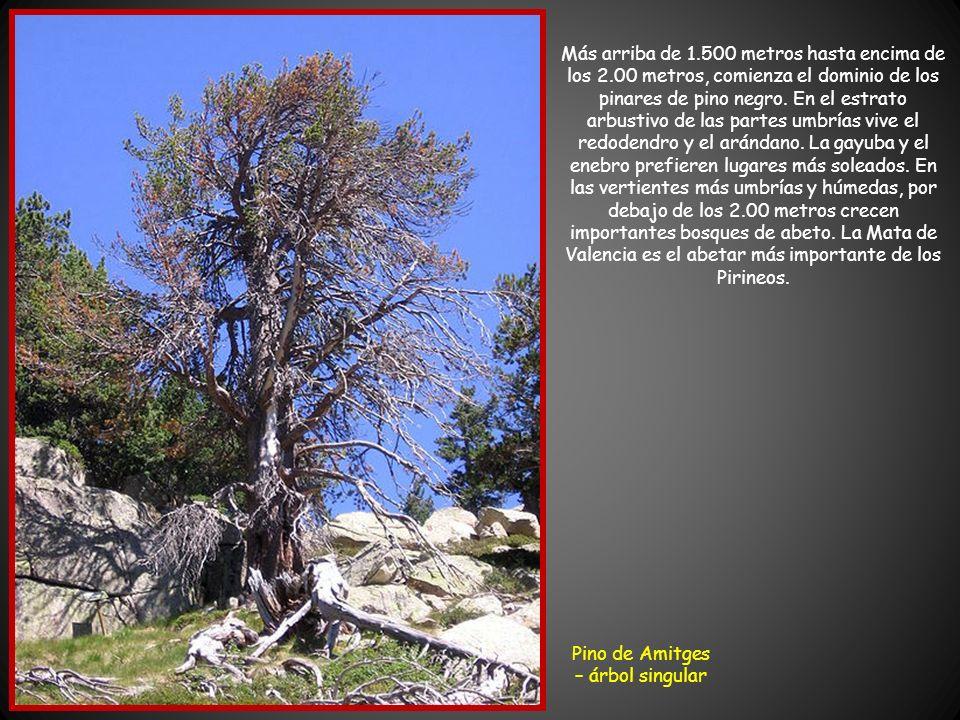 Pino de Amitges – árbol singular