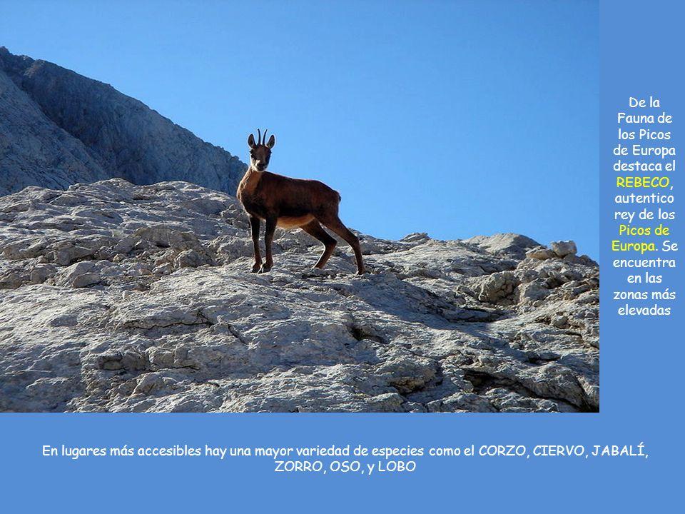 De la Fauna de los Picos de Europa destaca el REBECO, autentico rey de los Picos de Europa. Se encuentra en las zonas más elevadas