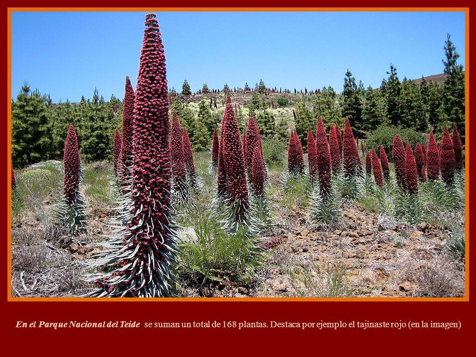 En el Parque Nacional del Teide se suman un total de 168 plantas