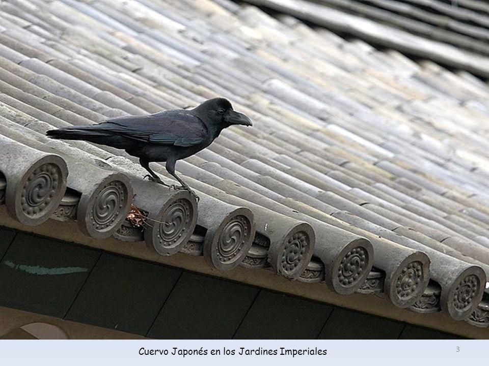 Cuervo Japonés en los Jardines Imperiales