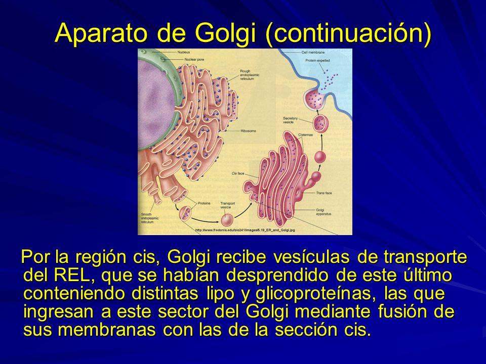 Aparato de Golgi (continuación)