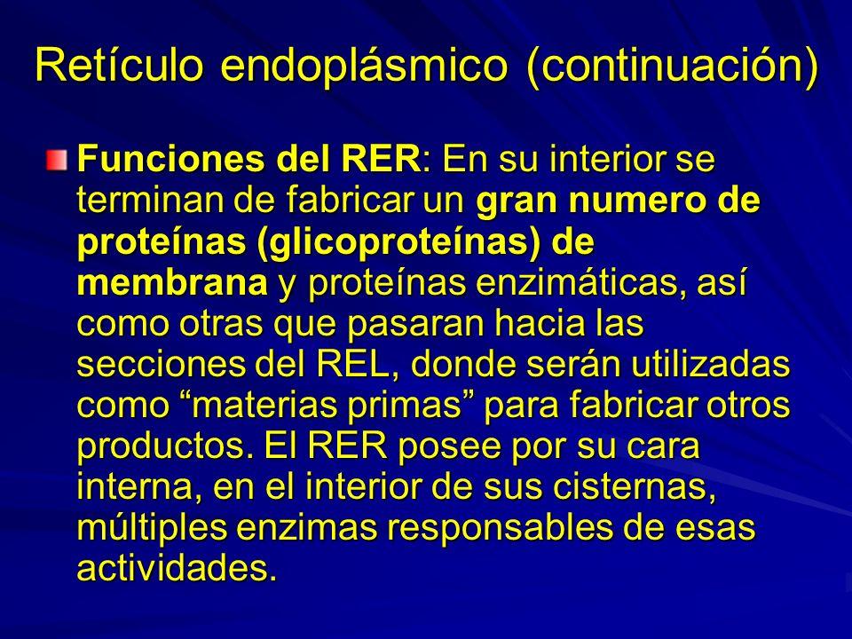 Retículo endoplásmico (continuación)