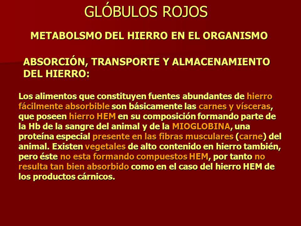GLÓBULOS ROJOS METABOLSMO DEL HIERRO EN EL ORGANISMO