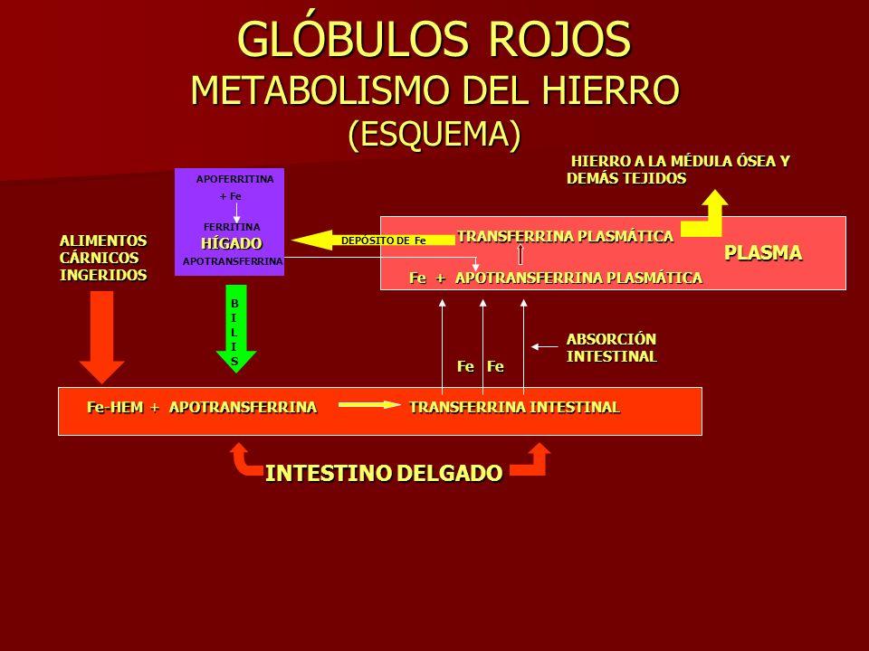 GLÓBULOS ROJOS METABOLISMO DEL HIERRO (ESQUEMA)