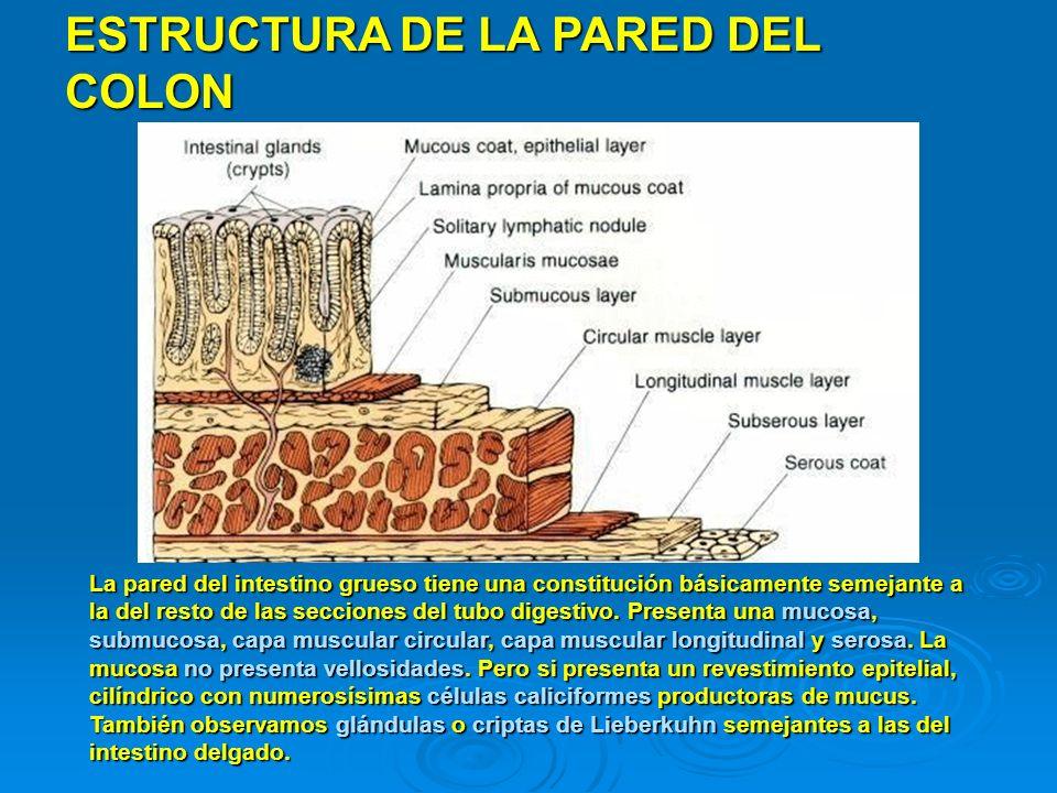 ESTRUCTURA DE LA PARED DEL COLON