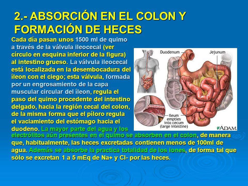2.- ABSORCIÓN EN EL COLON Y FORMACIÓN DE HECES