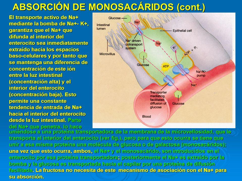 ABSORCIÓN DE MONOSACÁRIDOS (cont.)
