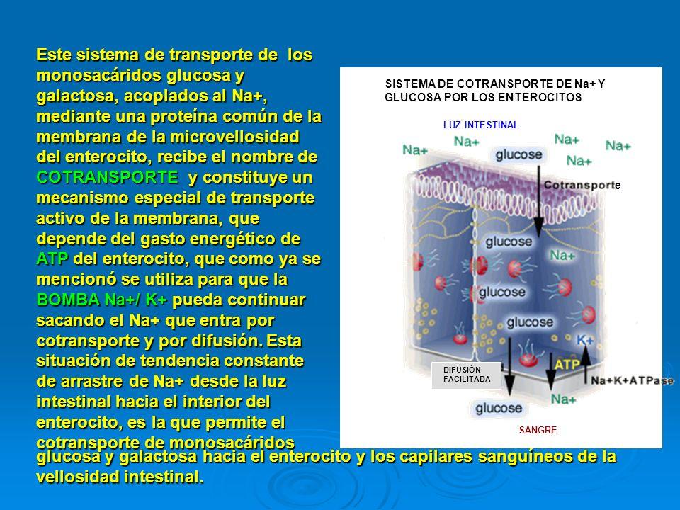 Este sistema de transporte de los monosacáridos glucosa y galactosa, acoplados al Na+, mediante una proteína común de la membrana de la microvellosidad del enterocito, recibe el nombre de COTRANSPORTE y constituye un mecanismo especial de transporte activo de la membrana, que depende del gasto energético de ATP del enterocito, que como ya se mencionó se utiliza para que la BOMBA Na+/ K+ pueda continuar sacando el Na+ que entra por cotransporte y por difusión. Esta situación de tendencia constante de arrastre de Na+ desde la luz intestinal hacia el interior del enterocito, es la que permite el cotransporte de monosacáridos