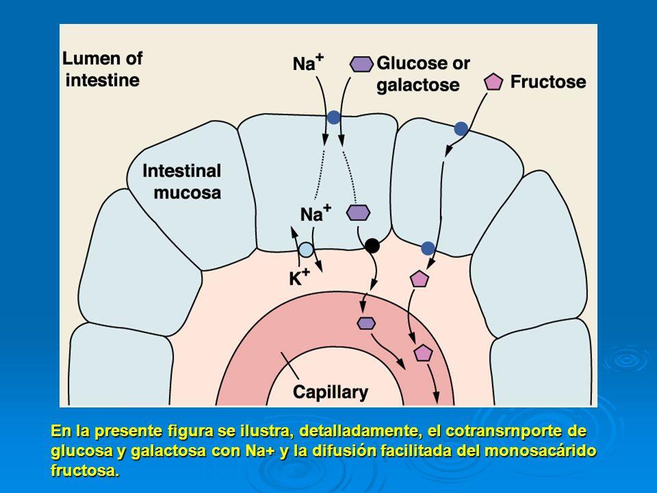 En la presente figura se ilustra, detalladamente, el cotransrnporte de glucosa y galactosa con Na+ y la difusión facilitada del monosacárido fructosa.