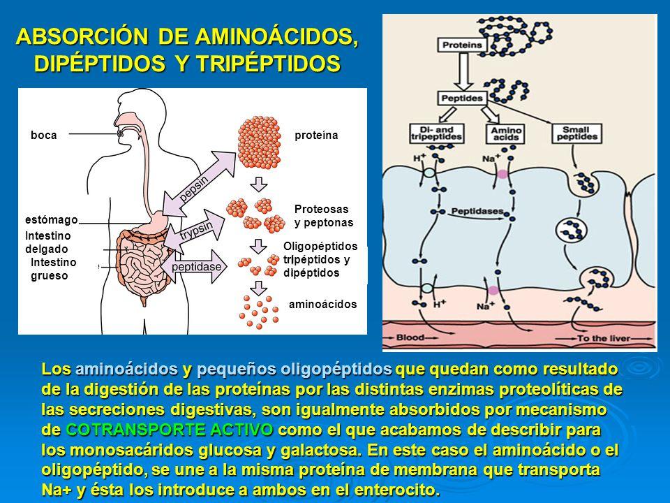 ABSORCIÓN DE AMINOÁCIDOS, DIPÉPTIDOS Y TRIPÉPTIDOS
