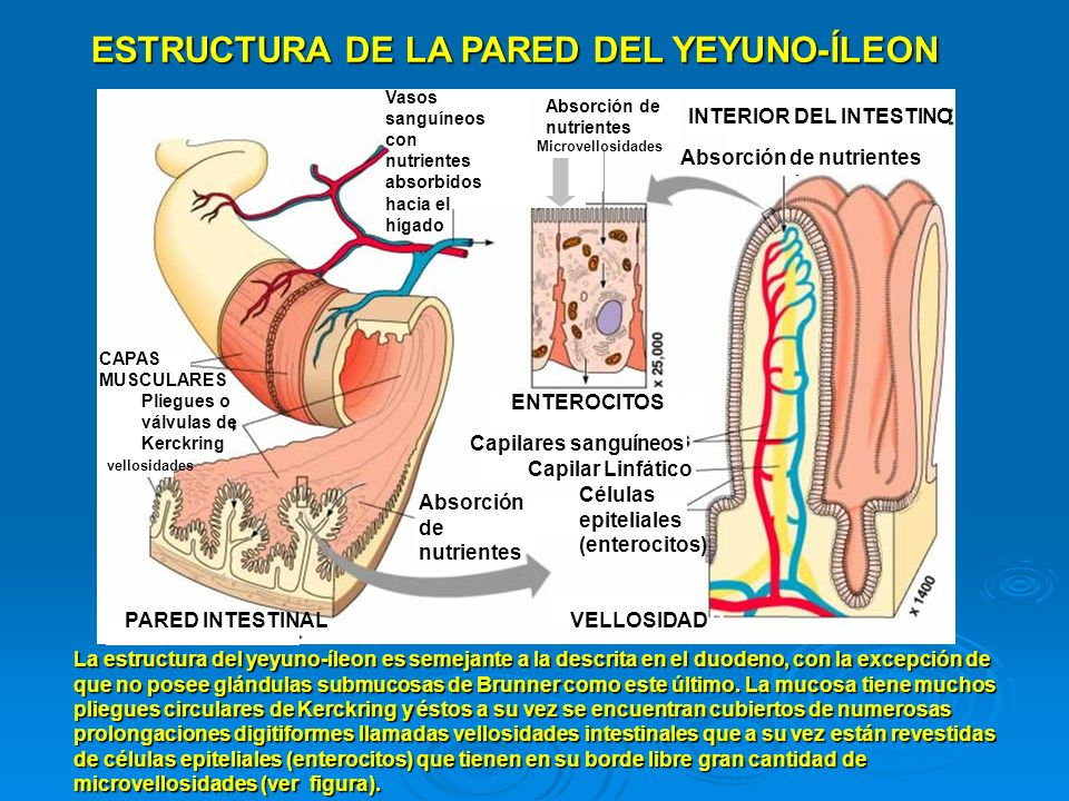 ESTRUCTURA DE LA PARED DEL YEYUNO-ÍLEON