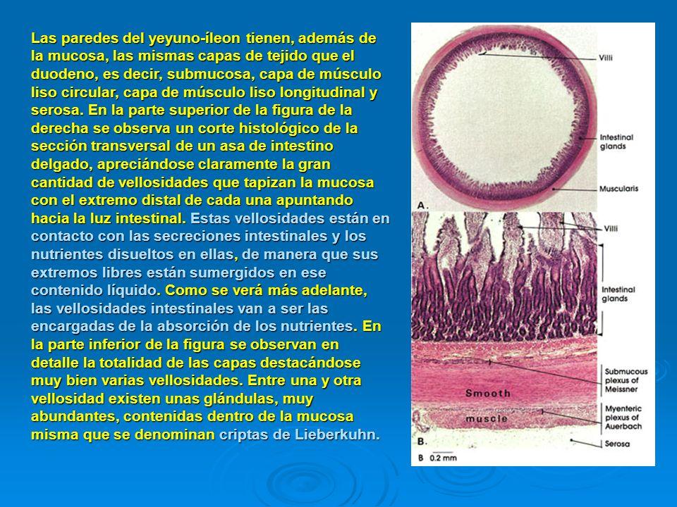 Las paredes del yeyuno-íleon tienen, además de la mucosa, las mismas capas de tejido que el duodeno, es decir, submucosa, capa de músculo liso circular, capa de músculo liso longitudinal y serosa.