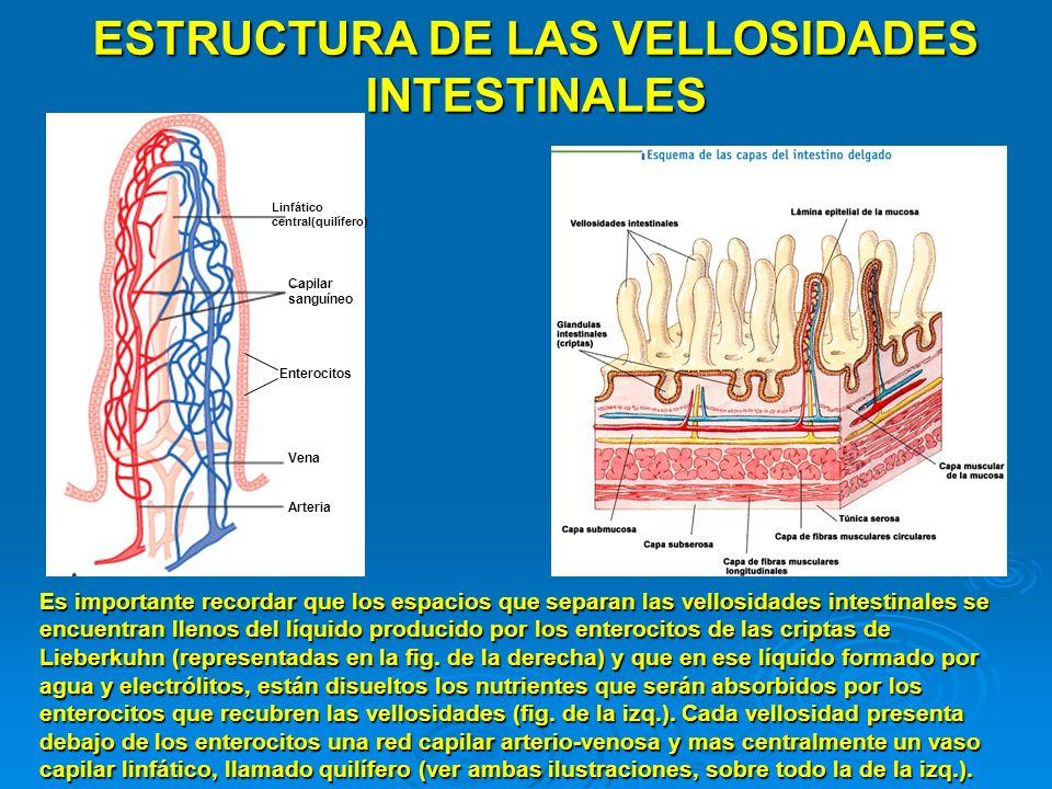 ESTRUCTURA DE LAS VELLOSIDADES INTESTINALES