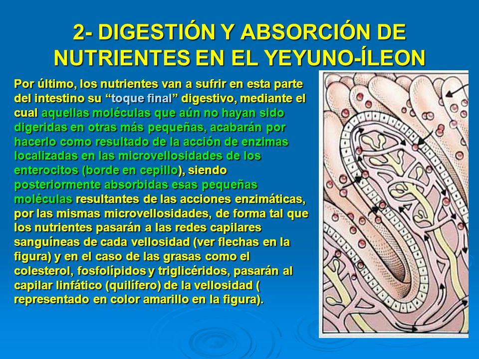 2- DIGESTIÓN Y ABSORCIÓN DE NUTRIENTES EN EL YEYUNO-ÍLEON