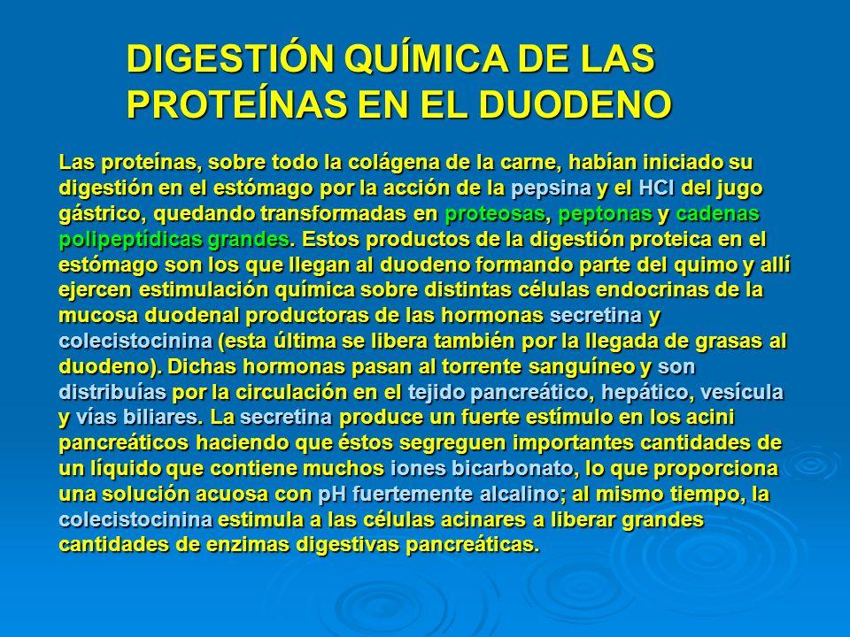 DIGESTIÓN QUÍMICA DE LAS PROTEÍNAS EN EL DUODENO