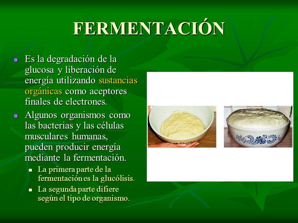 FERMENTACIÓN Es la degradación de la glucosa y liberación de energía utilizando sustancias orgánicas como aceptores finales de electrones.