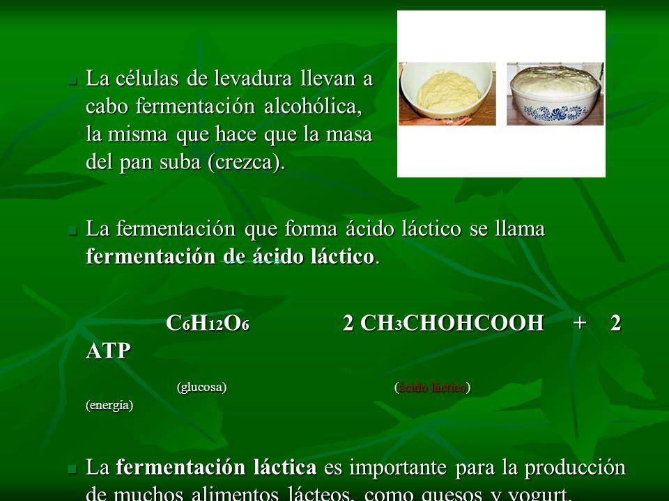 La células de levadura llevan a cabo fermentación alcohólica, la misma que hace que la masa del pan suba (crezca).