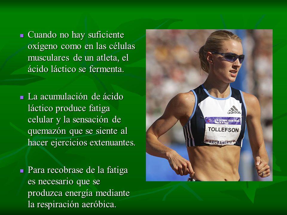 Cuando no hay suficiente oxígeno como en las células musculares de un atleta, el ácido láctico se fermenta.