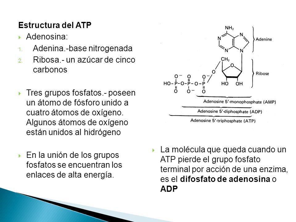 Estructura del ATP Adenosina: Adenina.-base nitrogenada. Ribosa.- un azúcar de cinco carbonos.