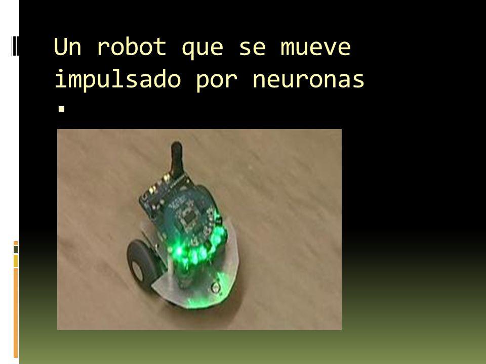 Un robot que se mueve impulsado por neuronas