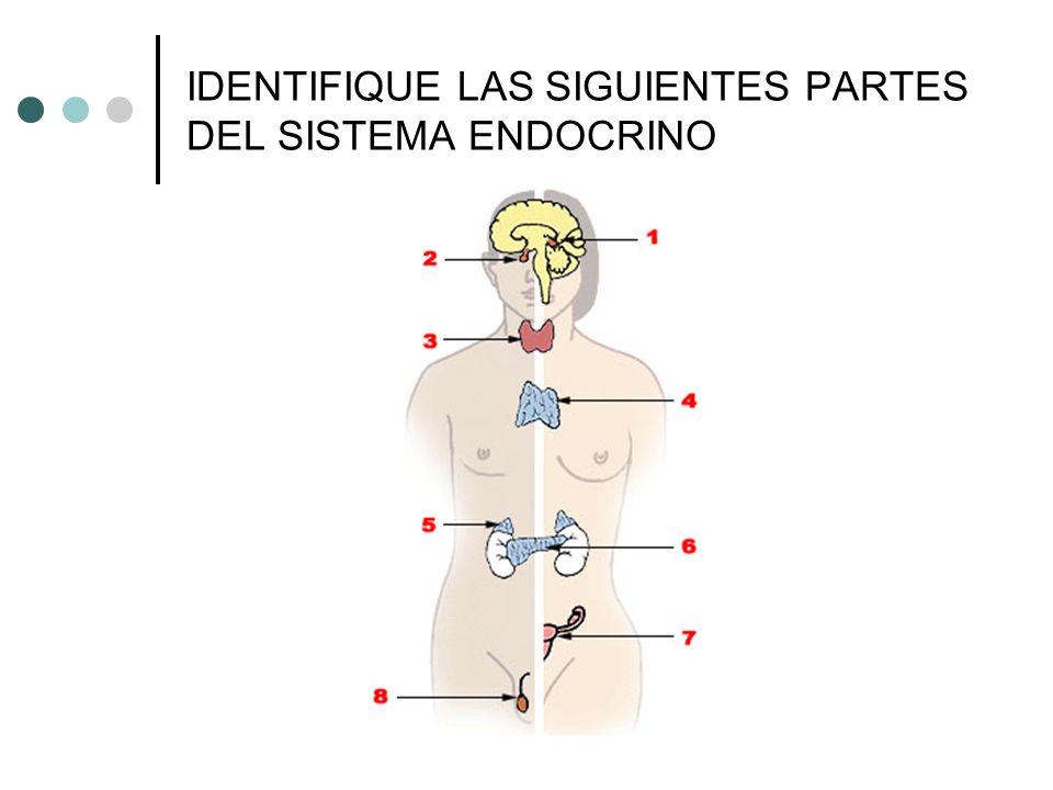 IDENTIFIQUE LAS SIGUIENTES PARTES DEL SISTEMA ENDOCRINO