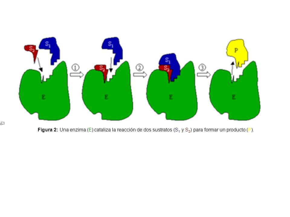 Figura 2: Una enzima (E) cataliza la reacción de dos sustratos (S1 y S2) para formar un producto (P).