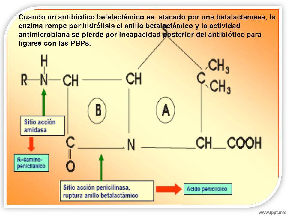 Cuando un antibiótico betalactámico es atacado por una betalactamasa, la enzima rompe por hidrólisis el anillo betalactámico y la actividad antimicrobiana se pierde por incapacidad posterior del antibiótico para ligarse con las PBPs.