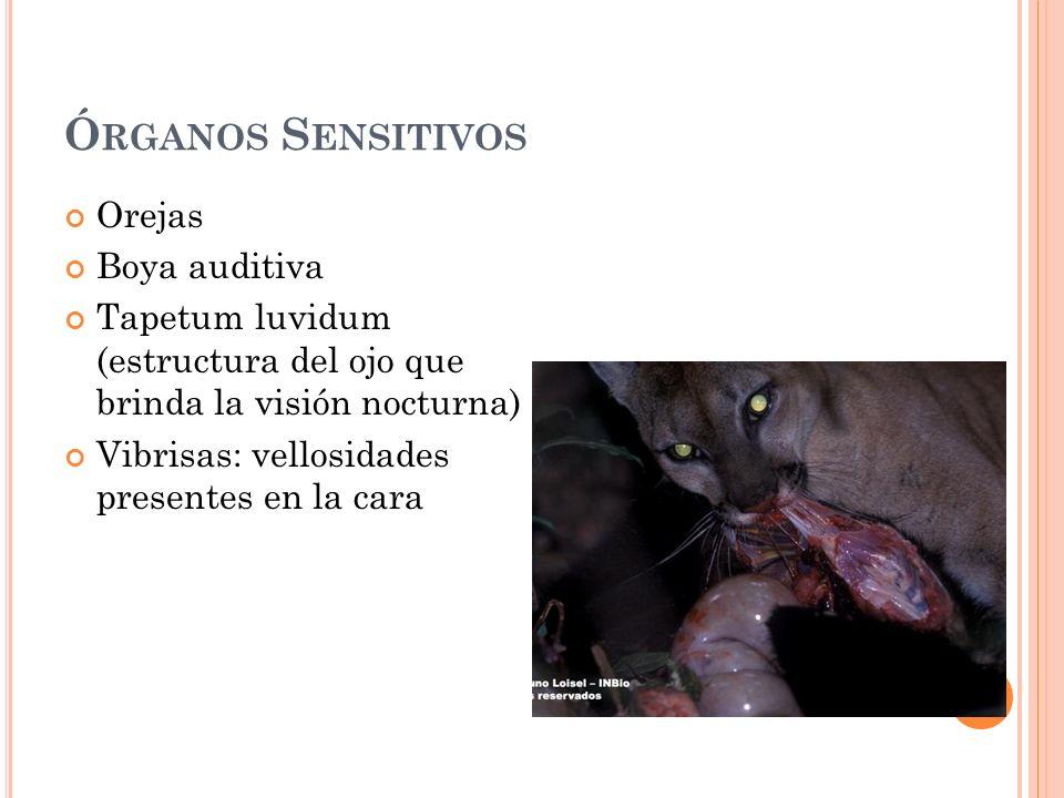 Órganos Sensitivos Orejas Boya auditiva