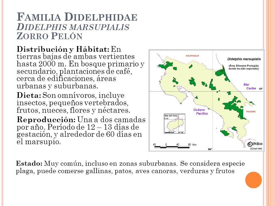 Familia Didelphidae Didelphis marsupialis Zorro Pelón