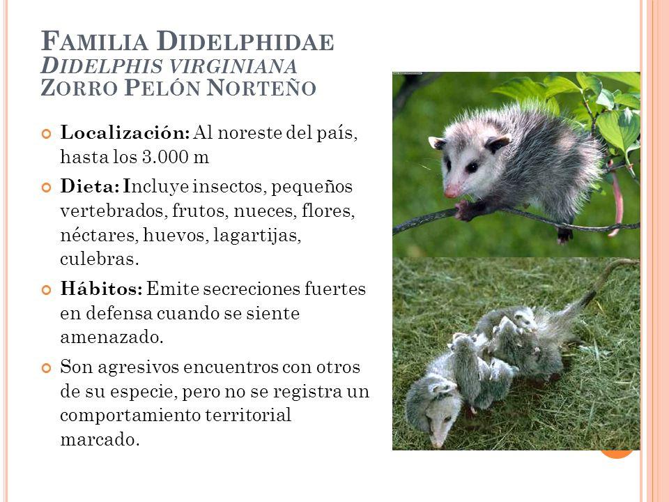 Familia Didelphidae Didelphis virginiana Zorro Pelón Norteño